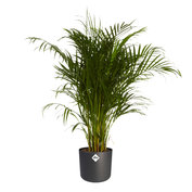 Goudpalm in ® ELHO b.for soft sierpot(Dypsis Lutescens)